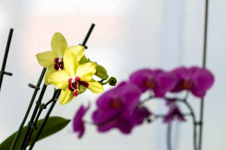 A portrait of a yellow orchids catching a ray of sunlight inside of a house. In the back their is a branch full of purple orchid flowers in the shade. The plant is standing indoors.