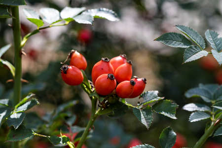 A portrait of multiple rosehip berries on a branch of a wild rose bush. The rose hip is also called rose hep or haw and can be used to make a nice cup of healthy tea. 写真素材