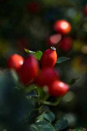 A portrait of a red rose hep or haw berry in between others of its kind on a rose hip bush. The fruit can be used to make a delicious and healthy cup of tea.