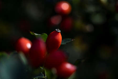 A portrait of a rose haw or hep berry surrounded by others of its kind which are blurred out. The rose hip can be used to make a healthy cup of tea. 写真素材