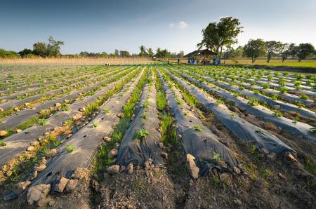 fungicide: Vegetable garden