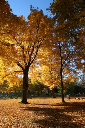 sidelight: Sidelight falling on autumn yellow trees, causing them to glow gold. Stock Photo