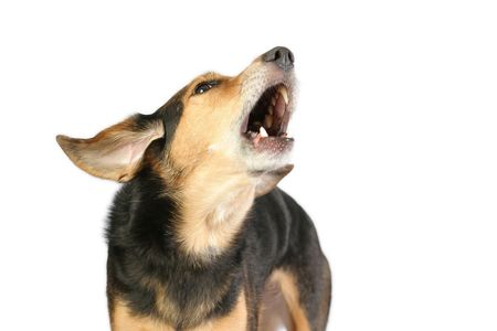 vocals: black and tan mutt barking or howling