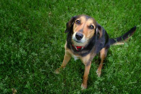 Mixed breed dog looking at camera. Фото со стока