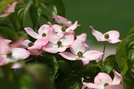 flowering doogwood Фото со стока