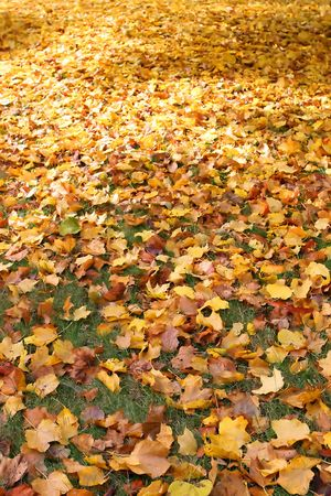 Gold and yellow fall leaves covering a lawn.