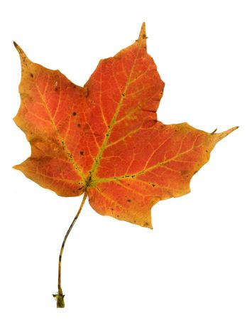 Red, orange, yellow and green maple leaf in autumnal colors.