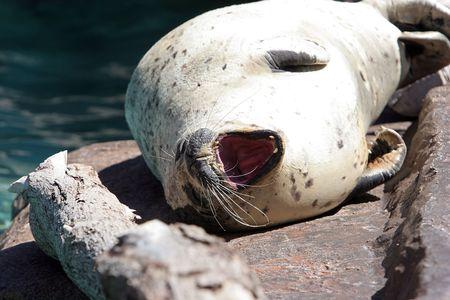 pinniped: Sea lion basking in the sun. Stock Photo