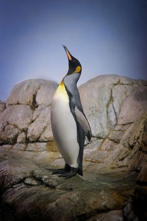 Penguin with beak towards the sky and wings back on rocks.