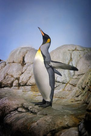eager: Penguin with beak towards the sky and flapping wings on rocks.