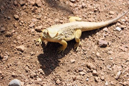 desert lizard: Desert lizard in natural habitat.