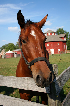 curious horse gazing at photographer, red round barn in background