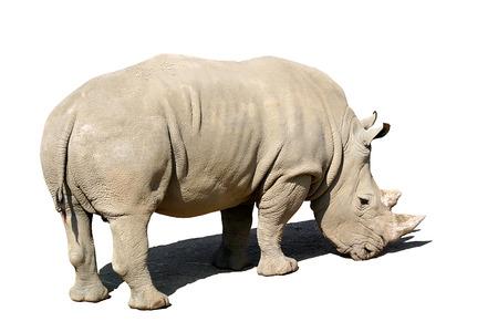isolated rhinoceros