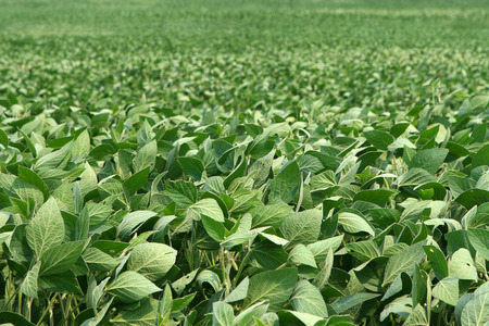 image of soybeans as far as can be seen Фото со стока