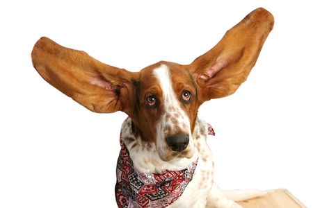 closeup of bassett hound with upraised ears.