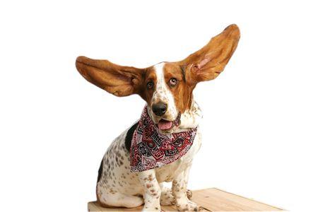 Bassett hound with upraised ears. Фото со стока