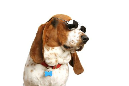 hounds: Bassett hound with sunglasses on white backdrop.