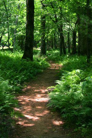 Trail through a fern-filled forest.