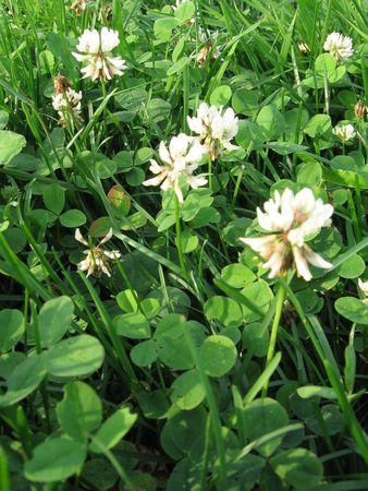 flue season: Pradera de tr�bol y hierba verde