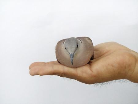 obedecer: Centrarse en los ojos de una paloma en una mano y un fondo blanco. Luz natural.