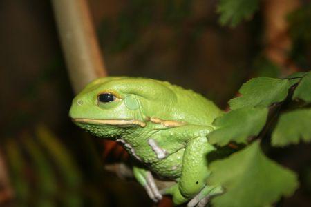 木のカエル
