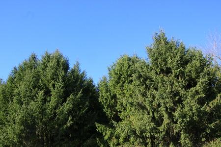cerulean: Fir Trees gathered under a cerulean sky Stock Photo
