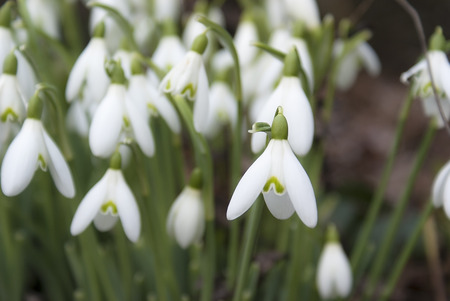 devon: Snowdrops in a devon hedge row