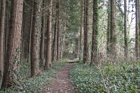 copse: trees in a forest in Totnes Devon UK Stock Photo
