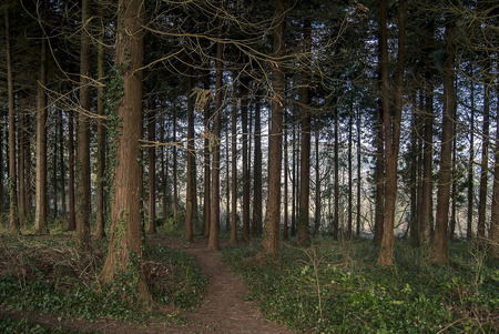 copse: Trees and leaves in a forest in Devon UK