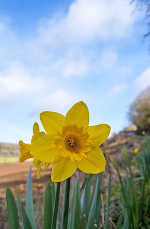 florish: Daffodils on a devon hedge row in Spring, grain present in pollen area, possibility of some colours removed from some images to enhance them,