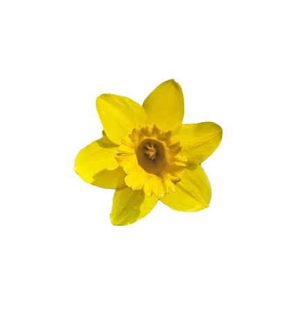 florish: Daffodil petals from a devon hedge row in Spring on an isolated white background