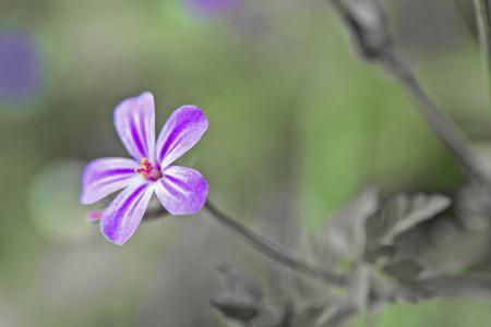 flor morada: Flores rosadas en un jard�n devon con el bokeh
