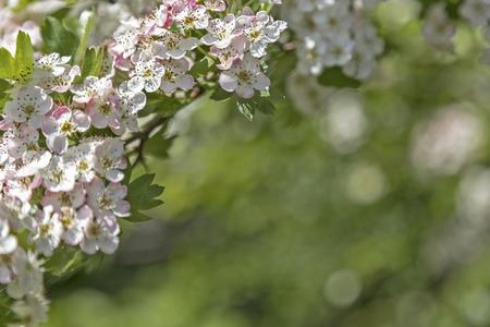 vulva: Hawthorn flower with bokeh in a british garden