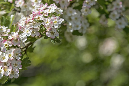 hedgerow: Hawthorn flower with bokeh in a british garden