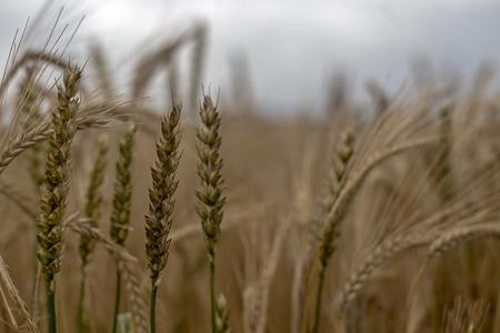 shown: Wheat shown in a farmland field . Stock Photo