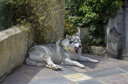 k9: Alaskan malamute pet dog