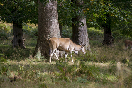 bongos: Showing different specicies od a Eland animal common and giant, part of the antelope family and similar to bongos Stock Photo