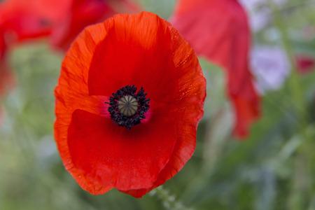 wild life: Close up shot of Red Poppys .