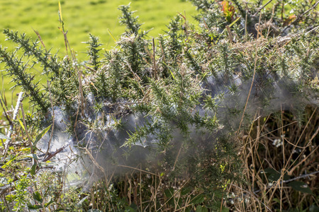 crawly: Showing a large spider web in a devon hedgerow .