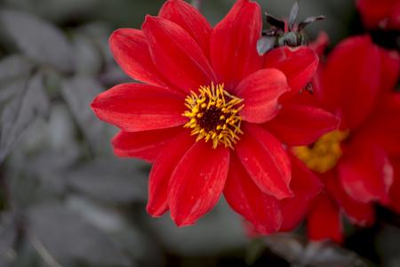 vulva: Showing a big red dahlia flower in a devon garden UK
