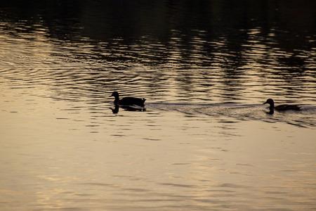 estuary: Showing two ducks at Stover lake in Devon UK .