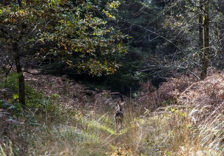 deer,woods,forest,nature,animal,devon,uk,holden,roe