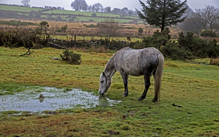 dapple grey: Showing a horse in the rain on Dartmoor, england UK Stock Photo