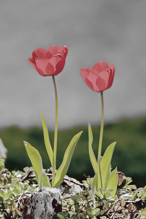 vulva: Showing wild tulips in an outdoor setting .