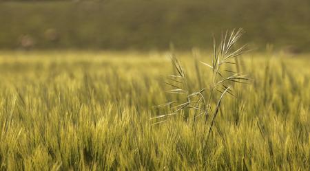 crop growing: Wild grass crop growing in a devon filed Stock Photo