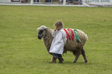 woll: Wadebridge, Cornwall, UK, June 11 2016 - Showing Sheep in a parade in a green grass field at a local show Editorial