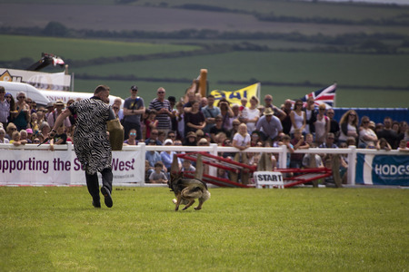 police dog: Wadebridge, Cornwall, UK, June 11 2016 - Showing police dog display team in a green grass field at a local show. Editorial