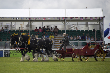 shire horse: Wadebridge, Cornwall, UK, June 11 2016 - Showing horse riders, riding and doing several riding tricks with horses on green grass field at a local show.