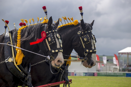 clydesdale: Wadebridge, Cornwall, UK, June 11 2016 - Showing horse riders, riding and doing several riding tricks with horses on green grass field at a local show.