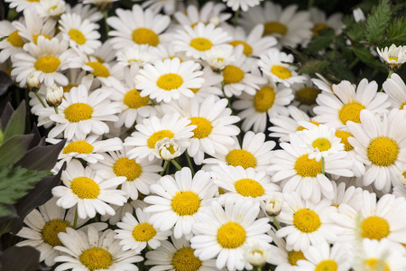 daisys: Showing a yellow daisys up close .